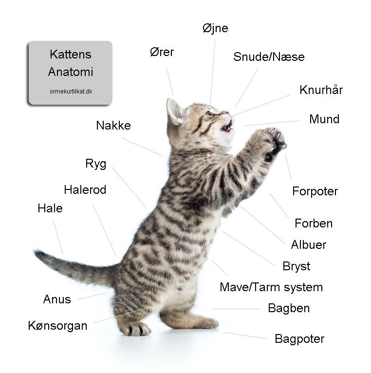 Kattens anatomi - Ormekur til kat fort\u00e6ller om kattens anatomi